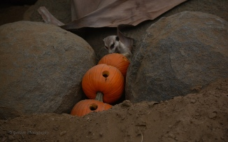 Meerkat with pumpkin, so cute!